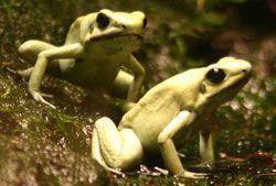 Лягушки рода листолазив