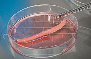 Выращивание человеческих органов.