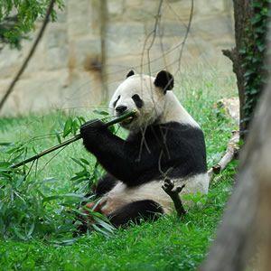 Гігантська панда