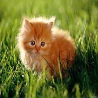 Найменші породи домашніх кішок