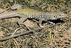 Симулювання поведінки самців у хлистохвостих ящірок