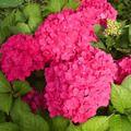 Топ-10 отруйних рослин у наших садах