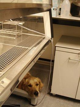 эксперимент над собаками