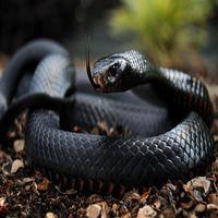 Топ-10 самых ядовитых змей