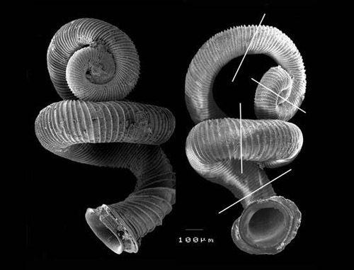 Opisthostoma vermiculum