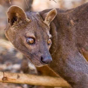 Мадагаскарская фосса