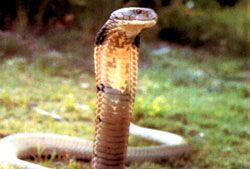 Очкова змея