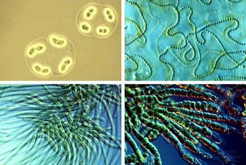 Цианобактерии - 2,8 миллиардов лет