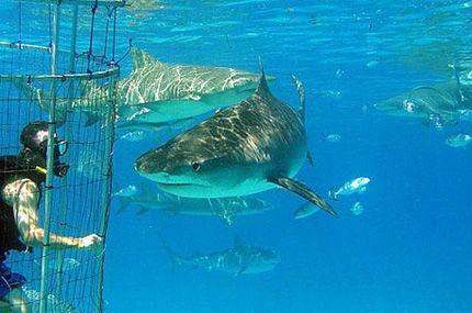 Пірнання за акулами