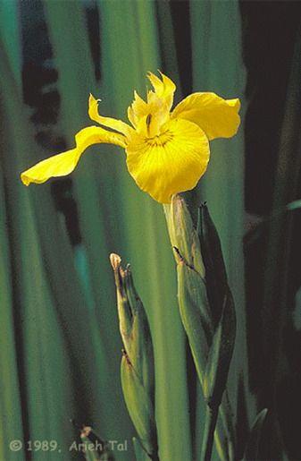 Ирис жёлтый (Ирис боло́тный или Ирис водяно́й)