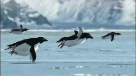Летающие пингвины шутка