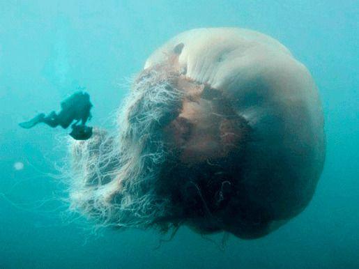 Медуза львиная грива или цианея гигантская