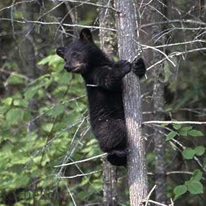 Чорна ведмедиця