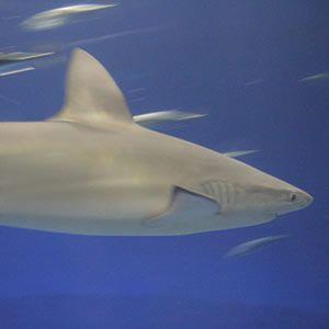 Акула из Галапагоских островов