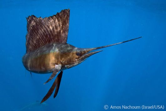 Амос Начоум (США) – «Риба-вітрильник»
