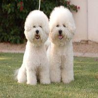Найдорожчі породи собак
