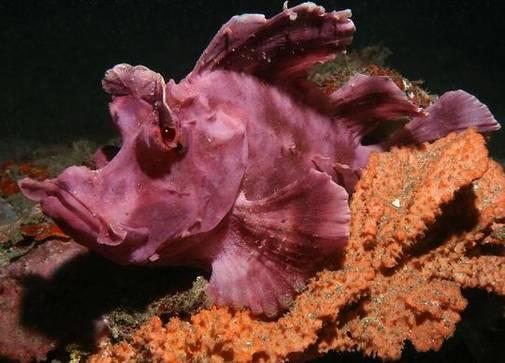 Рыба-скорпион или скорпена Эчмейера
