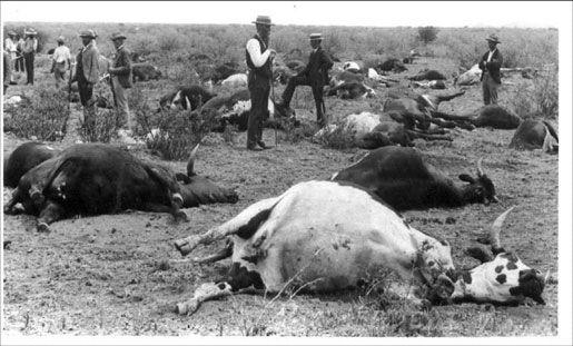 Чума рогатого скота